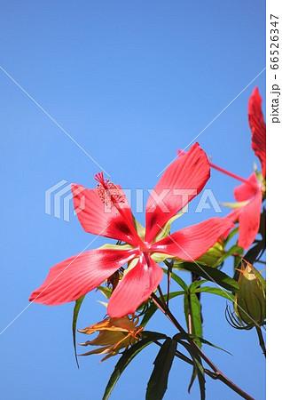 雲一つない空に向かって咲くモミジアオイ 66526347