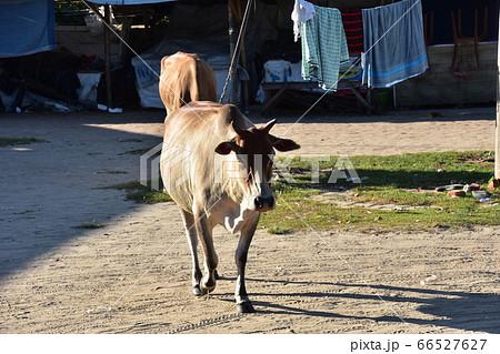 バングラデシュのコックスバザール ビーチのお土産屋とお店の周りを歩く牛 66527627