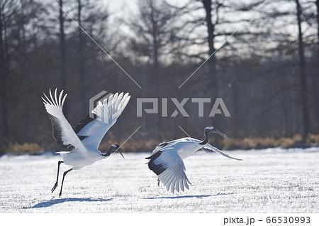 翼を広げた二羽のタンチョウ(北海道・鶴居) 66530993