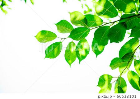 青々とした新緑のイメージ 66533101