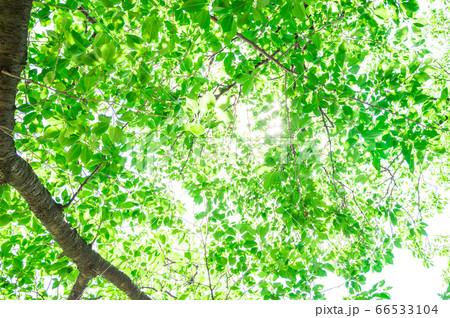 青々とした新緑のイメージ 66533104