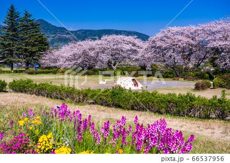 (静岡県)春の花咲く、富士市の雁堤(かりがねづつみ)公園 66537956