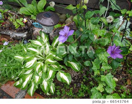 紫色の大輪のクレマチスが咲いたグリーンガーデン 66543764