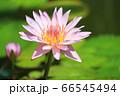 ピンク色のスイレン 66545494