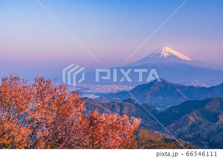 (静岡県)伊豆の国市・葛城山、山桜咲いた山々と富士山 66546111
