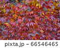 美しく色付いたツタの紅葉が壁を覆いつくしている 66546465
