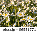 Field of leucanthemum vulgare, ox-eye daisies, in morning sunlight, shallow DoF 66551771