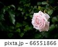 Pale pink rose against blurred dark green background, horizontal 66551866