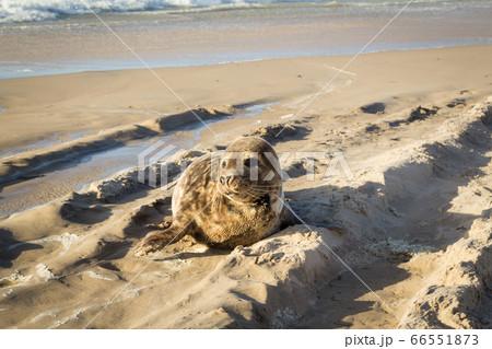 Common seal sunbathing on the beach 66551873