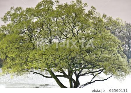 季節外れの積雪と桜の木の夜中の公園 66560151