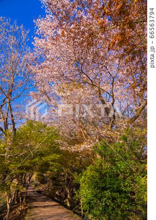 (静岡県)桜咲いた、葛城山のボードウォーク 66563794