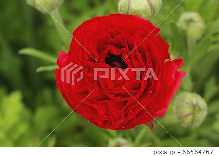 ラナンキュラスの幾重にも重なる花弁が豪華 66564767