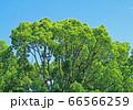 緑の木々 66566259