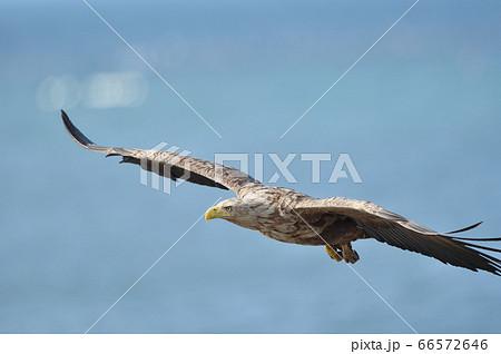 野付半島の海上を飛ぶオジロワシ(北海道) 66572646