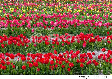 春イメージ かわいいチューリップの畑 66587319