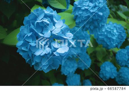 日陰に咲く青いアジサイ ターコイズブルー 66587784
