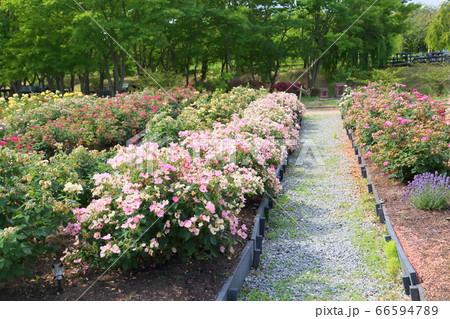 バラの花 レインボーノックアウト 66594789