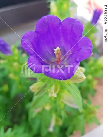 花 植物 ゼラニウム 66596832