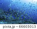ウメイロモドキの群れ⑹ 小笠原諸島 父島 66603013