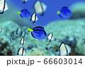 ナンヨウハギの幼魚 沖縄 水納島 66603014