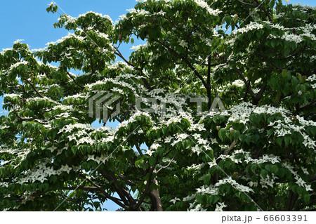 雪が積もったように群れ咲くヤマボウシの花(総苞) 66603391
