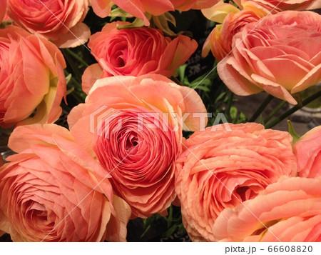 【大切なひとへ】咲き誇るピンク色のラナンキュラス 66608820
