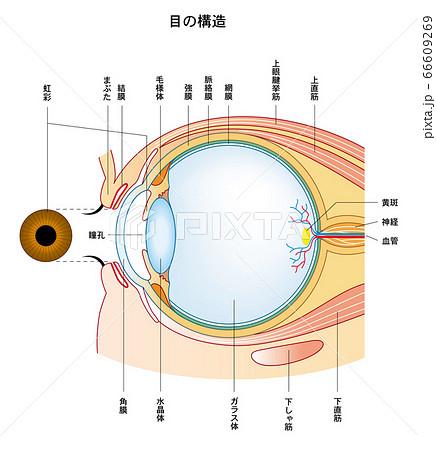 目の構造 目のつくり 66609269