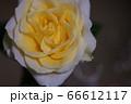 黄色バラ1 66612117