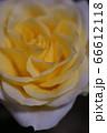 黄色バラ2 66612118