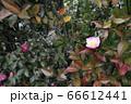 ピンクの椿 66612441