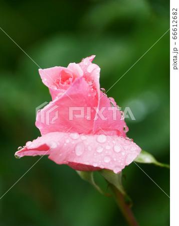 自然風景植物写真 雨に濡れたピンクのバラの蕾 66612682