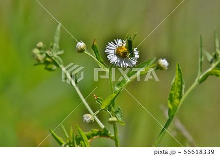 花に止まる小さなイナゴ、ツユムシの仲間 66618339