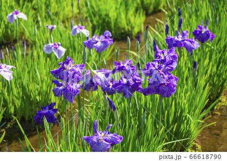 菖蒲咲くころの北山公園 青いハナショウブ 66618790
