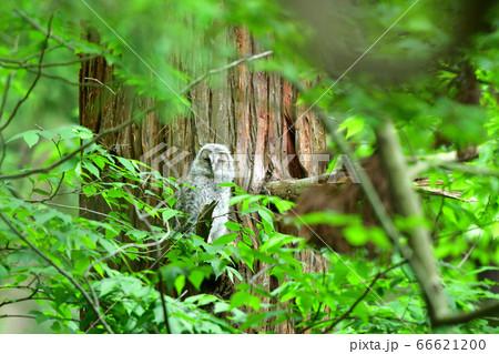 森の中の杉の枝に止まっている巣立ち間もないフクロウの雛 66621200