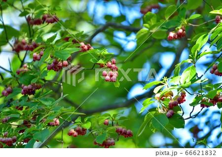 木漏れ日浴びて咲く満開のベニサラサドウダンツツジの花@奈良 66621832