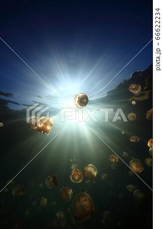 パラオ共和国 ジェリーフィッシュレイクのクラゲと太陽 66622234