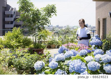 紫陽花の手入れをするミドルの日本女性 66624023