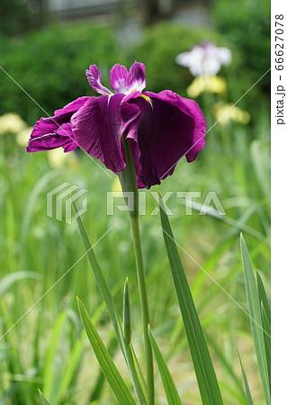 潮来市のあやめ園に咲く紫色の花しょうぶの花 66627078