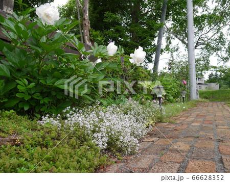 緑や白いシャクヤクが花を添えるレンガの小道 66628352