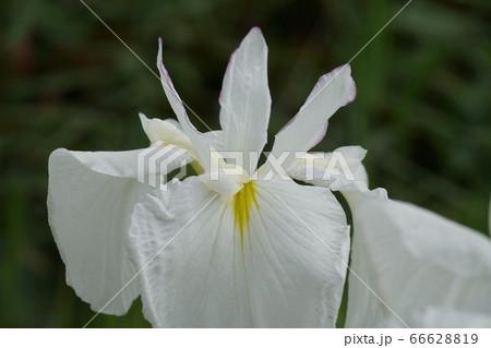 潮来市のあやめ園に咲く白色の花しょうぶの花 66628819