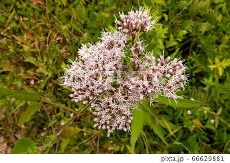 ヨツバヒヨドリ(四葉鵯)の花々 横位置 66629881