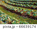 Lettuce plots Outdoor during the morning time is sunny. Health food 66639174