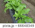 家庭菜園のホースラディッシュの葉(ワサビ大根) 66648349