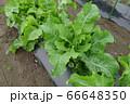 家庭菜園のホースラディッシュの葉(ワサビ大根) 66648350