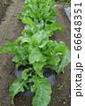 家庭菜園のホースラディッシュの葉(ワサビ大根) 66648351