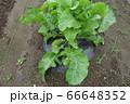 家庭菜園のホースラディッシュの葉(ワサビ大根) 66648352