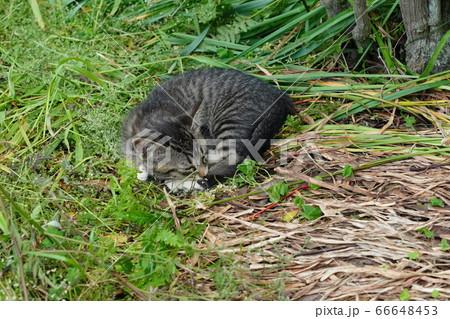 遊び疲れて若草の布団で一休みの子猫 66648453