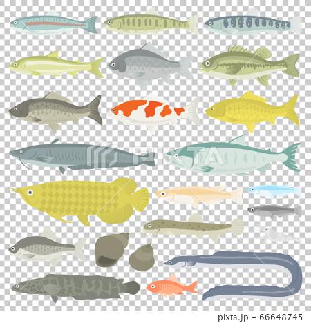 插圖集的淡水魚 66648745