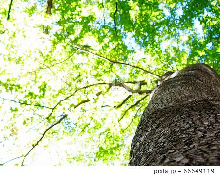 抱きついて見上げた木、輝く木漏れ日 66649119