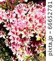 道端のピンクのお花たち 66652781